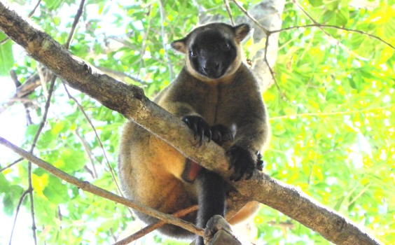 Lumholtz's Tree-kangaroo photo by Laurie Perks